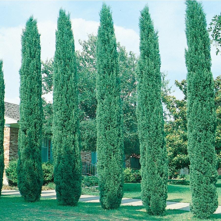 3.58-Gallon Italian Cypress Feature Tree (L3291)