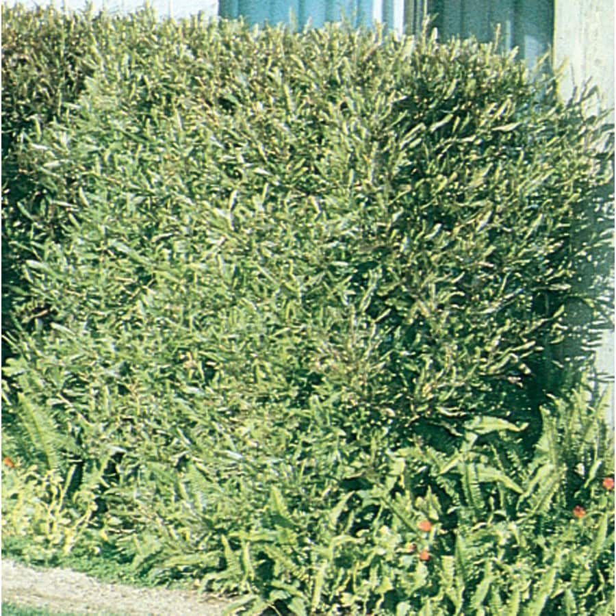 3.58-Gallon Hopseed Bush Screening Shrub (L14895)