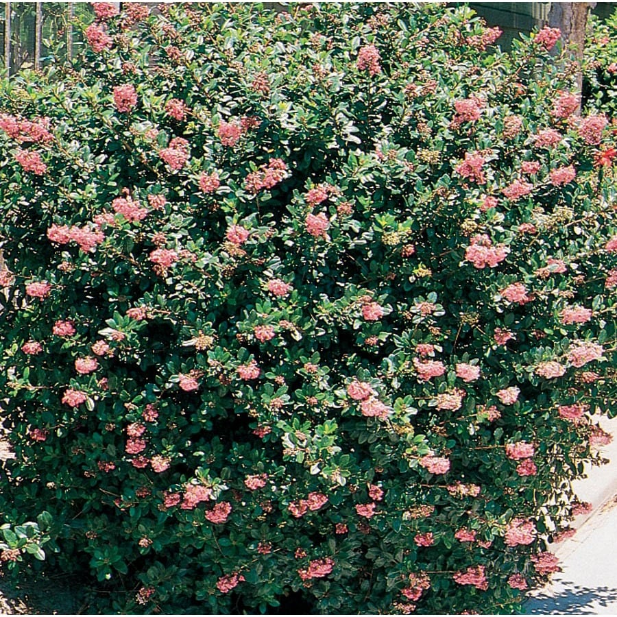 3.58-Gallon Mixed Escallonia Flowering Shrub (L2913)