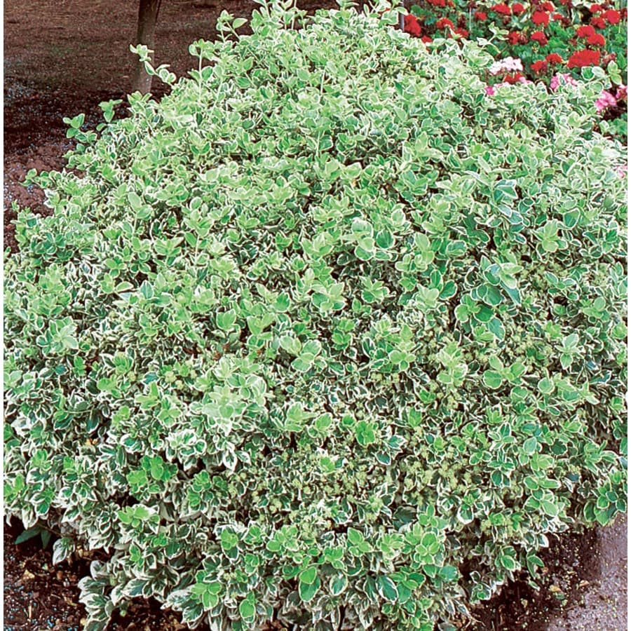 3.58-Gallon Emerald Gaiety Euonymus Accent Shrub (L3487)