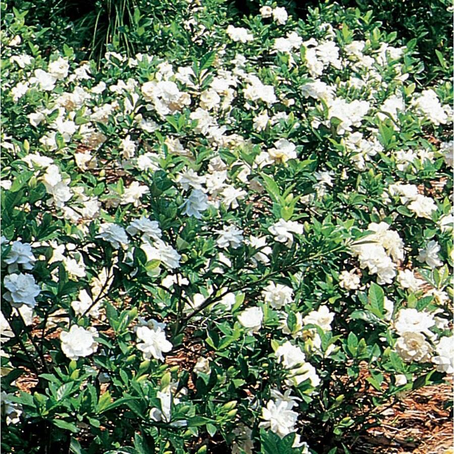 3.58-Gallon White Gardenia Flowering Shrub (L5150)