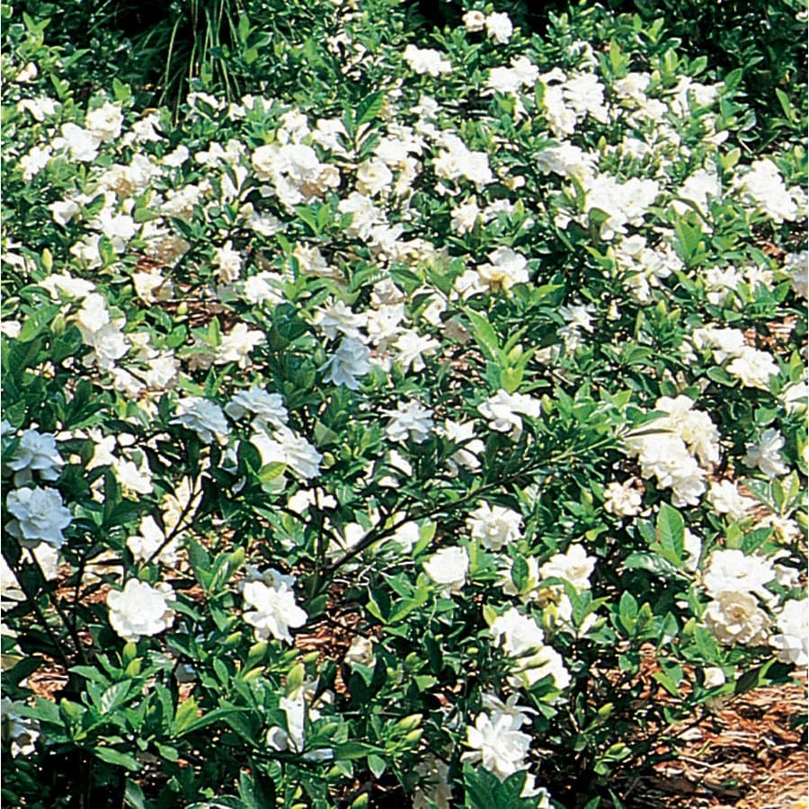 3.58-Gallon White Gardenia Flowering Shrub (L5150)