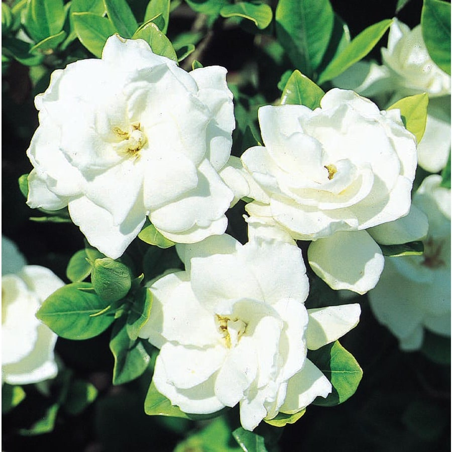 3.58-Gallon White Veitchii Gardenia Flowering Shrub (L10719)