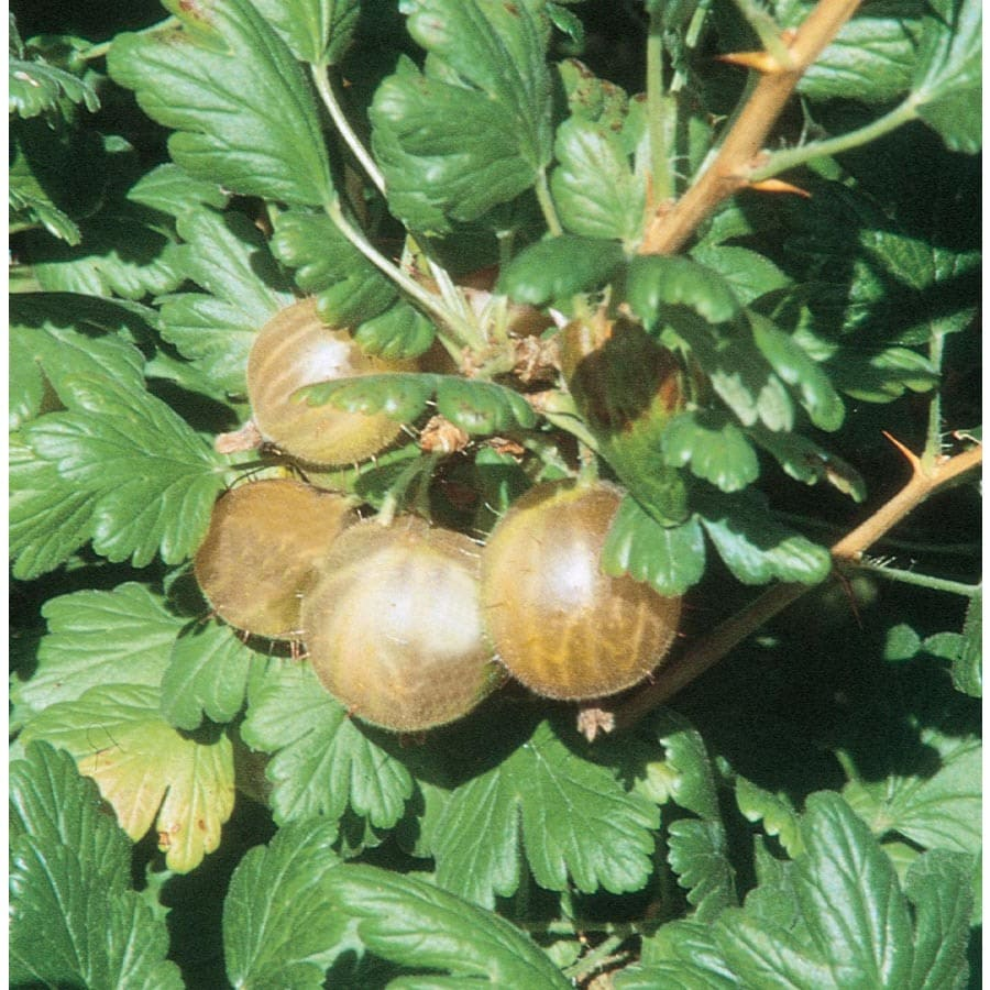 3.58-Gallon Gooseberry Small Fruit (L27222)