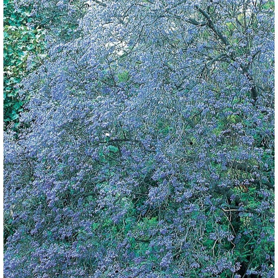 3.58-Gallon Jacaranda Tree Feature Tree (L3971)