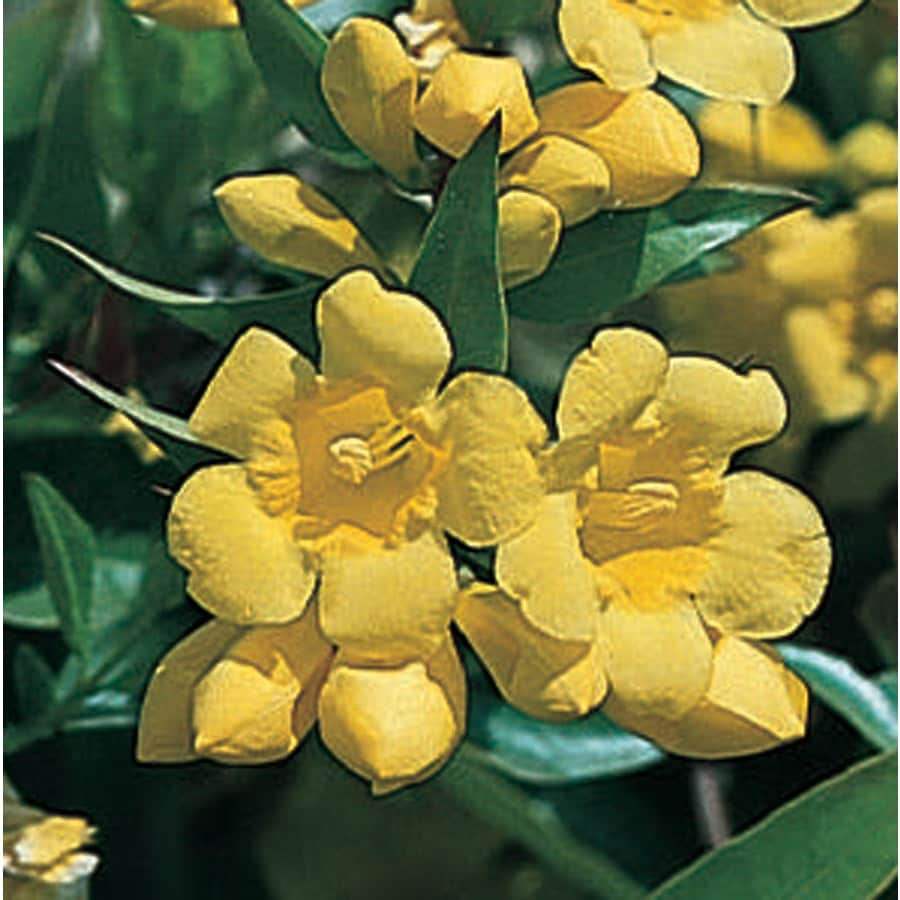 3.58-Gallon Carolina Jessamine (L7472)