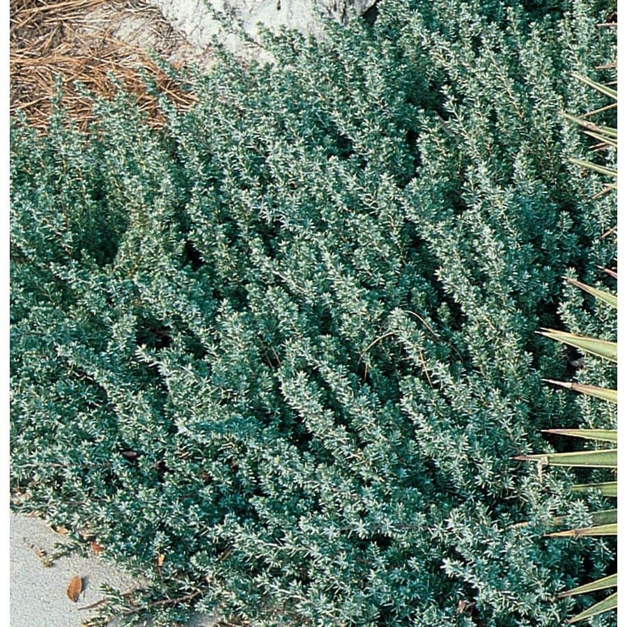 3.58-Gallon Blue Pacific Shore Juniper Accent Shrub (L3261)