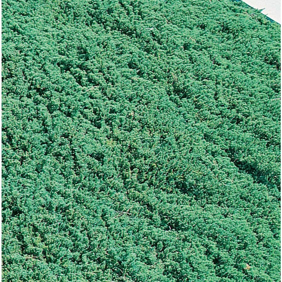 3.58-Gallon Dwarf Garden Juniper Accent Shrub (L7430)