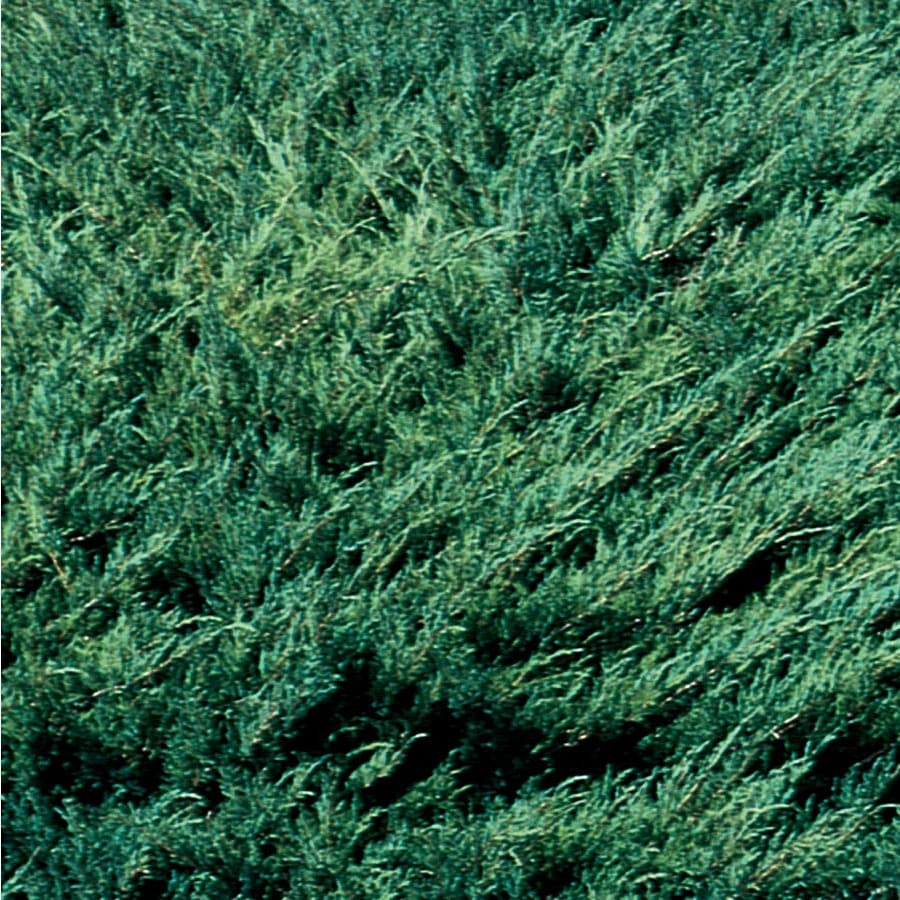 3.58-Gallon Hughes Juniper Accent Shrub (L6181)