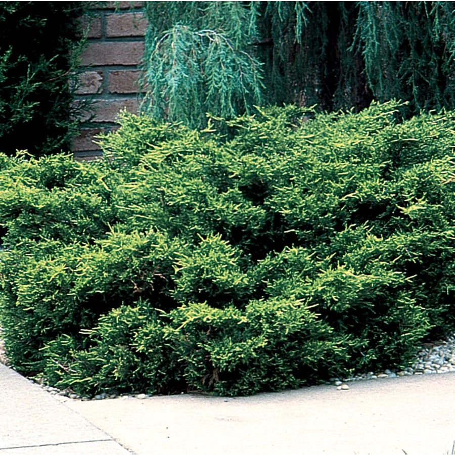 3.58-Gallon Old Gold Juniper Accent Shrub (L10110)