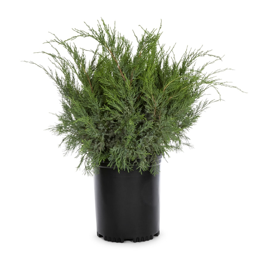 3.58-Gallon Sea Green Juniper Accent Shrub (L3045)