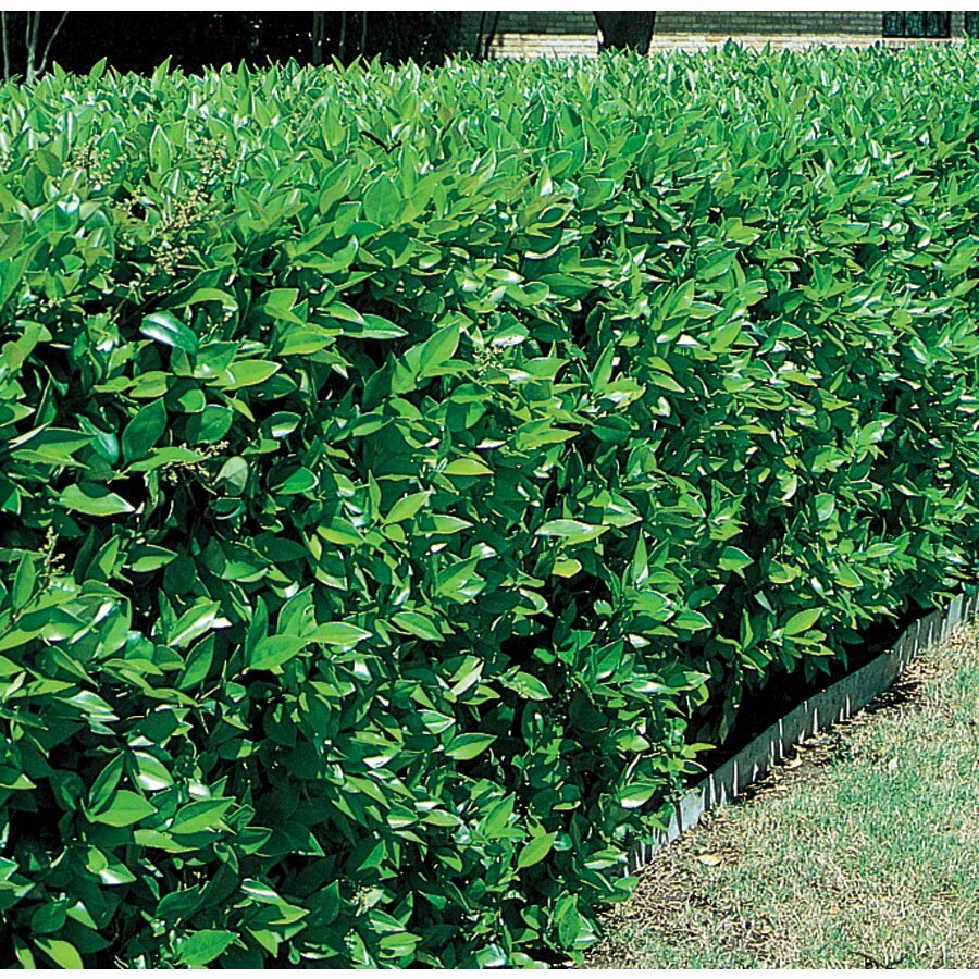 3.58-Gallon White Green Ligustrum Foundation/Hedge Shrub (L7467)