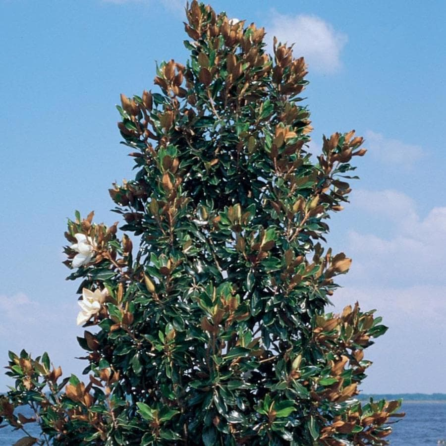 3.58-Gallon Little Gem Magnolia Flowering Tree (L1157)