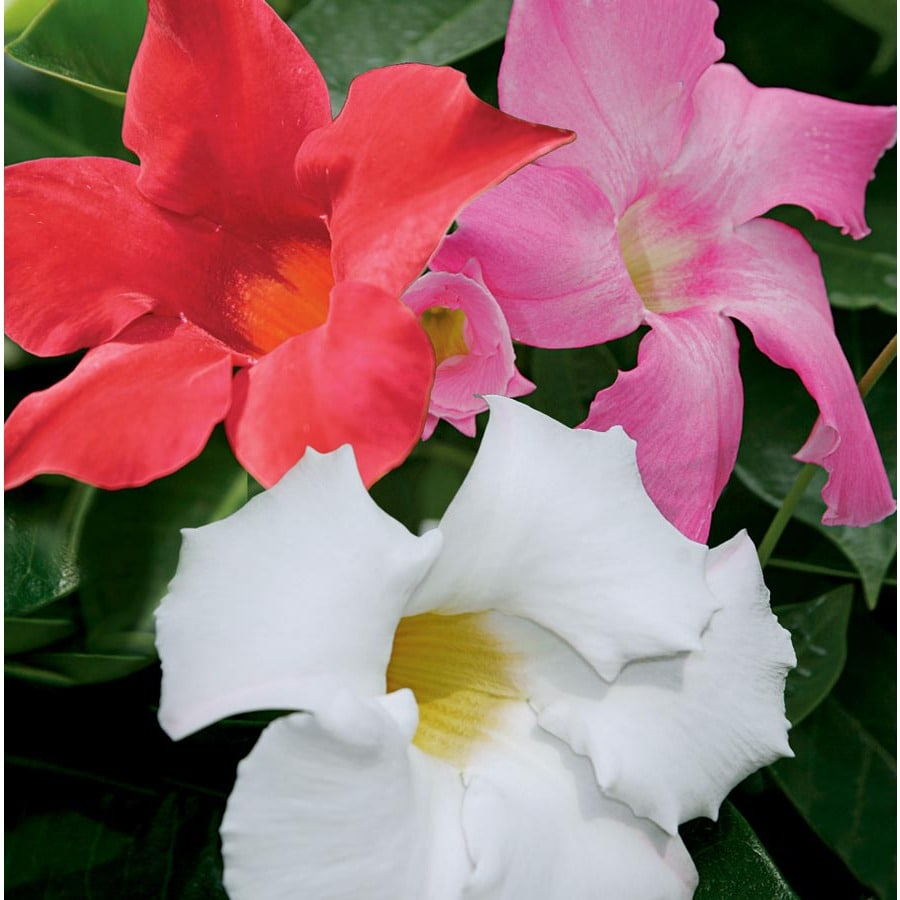 3.58-Gallon Mandevilla (L10440)