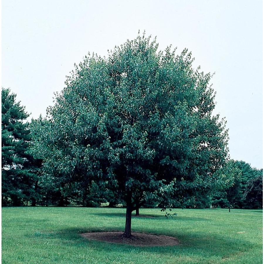 3.58-Gallon Red Sunset Maple Shade Tree (L1129)