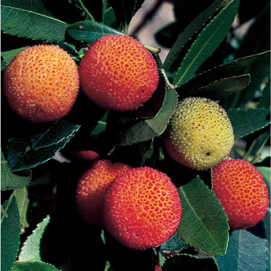 Marina Strawberry Tree (Lw02095)