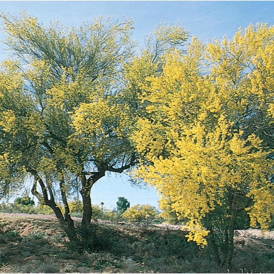 3.58-Gallon Blue Palo Verde Feature Tree (L4007)
