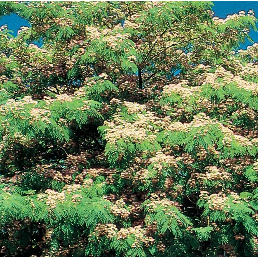 3.58-Gallon Mimosa Tree Flowering Tree (L1103)
