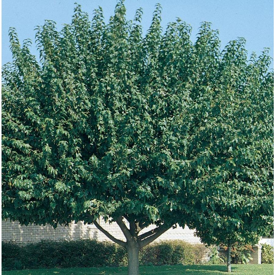 3.58-Gallon Fruitless Mulberry Shade Tree (L3600)