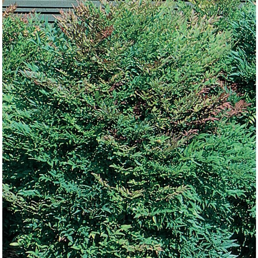 3.58-Gallon White Heavenly Bamboo Accent Shrub (L4346)