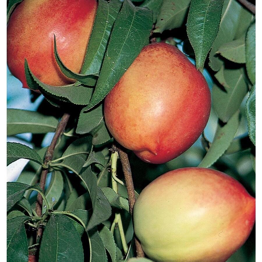 3.58-Gallon Goldmine Ultra-Dwarf Nectarine Tree (L22679)