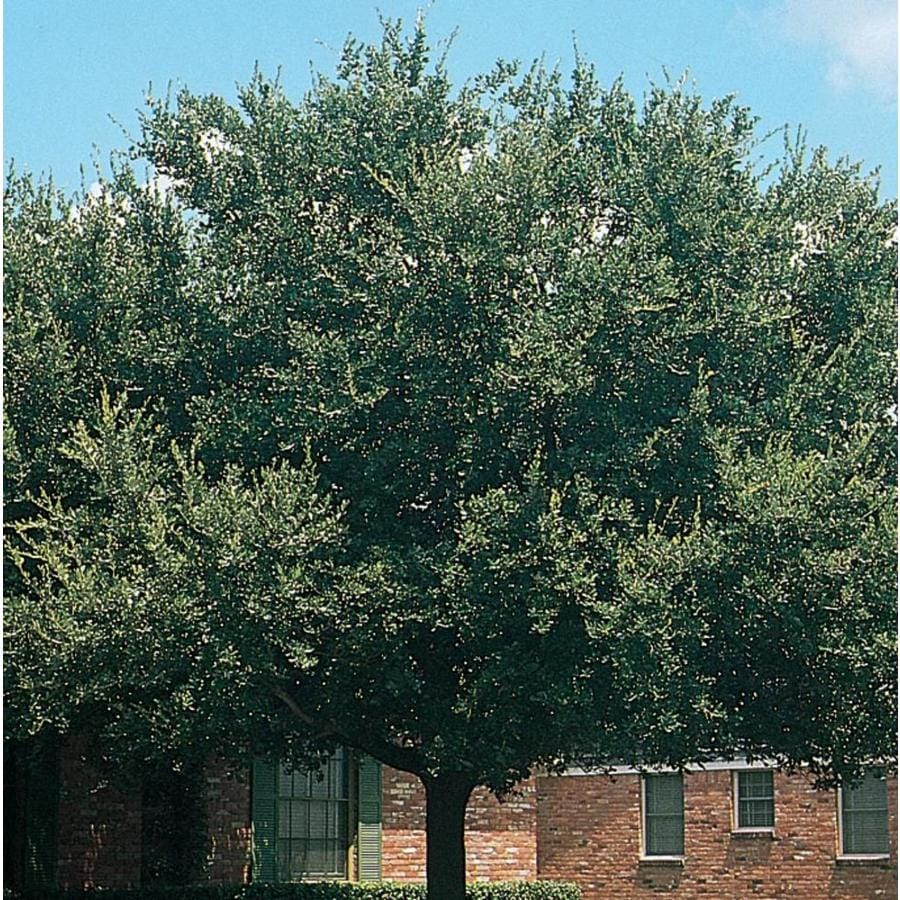 3.58-Gallon Live Oak Shade Tree (L3670)