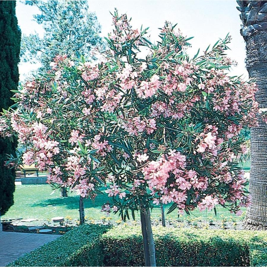 3.58-Gallon Oleander (Tree Form) Flowering Tree (L24109)