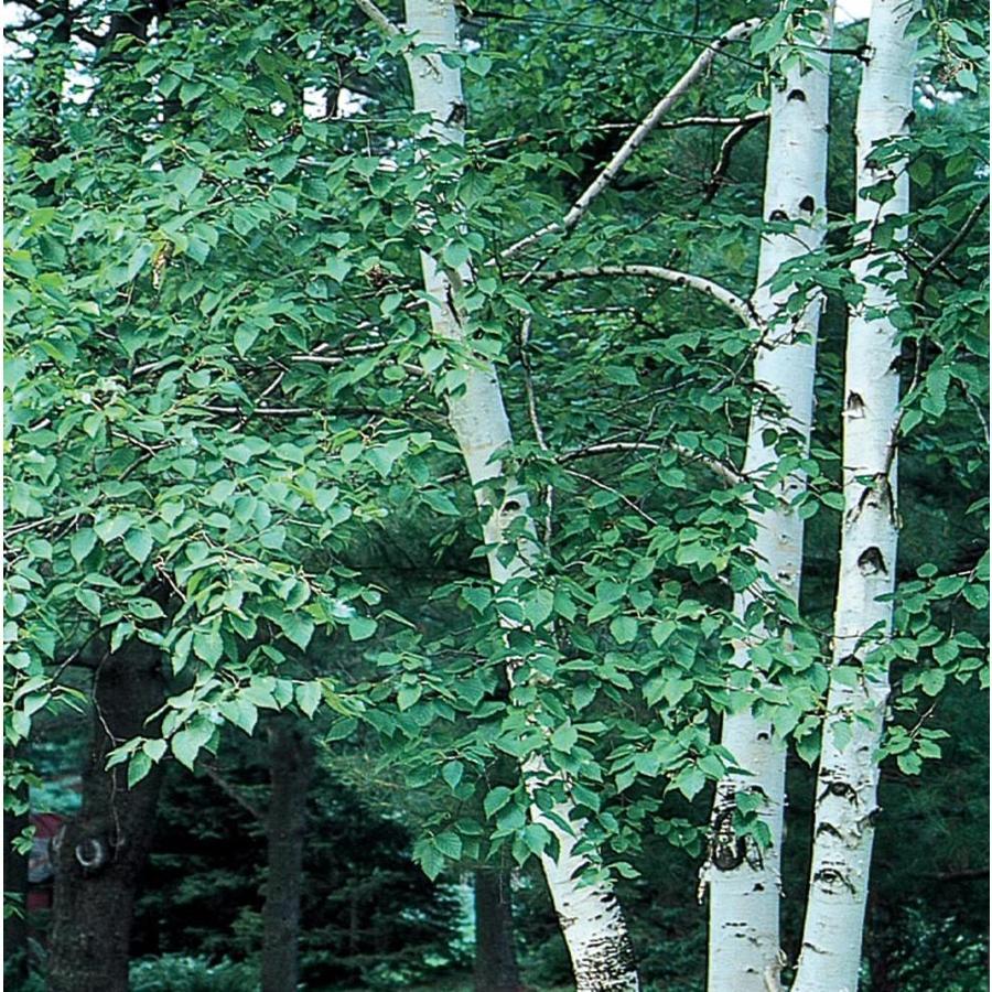 3.58-Gallon Paper Birch Feature Tree (L7304)