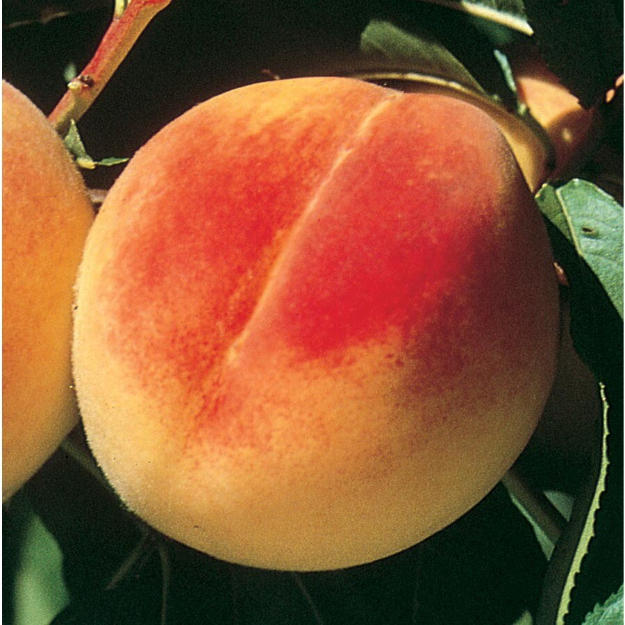 3.58-Gallon Early Elberta Ultra-Dwarf Peach Tree (L22675)