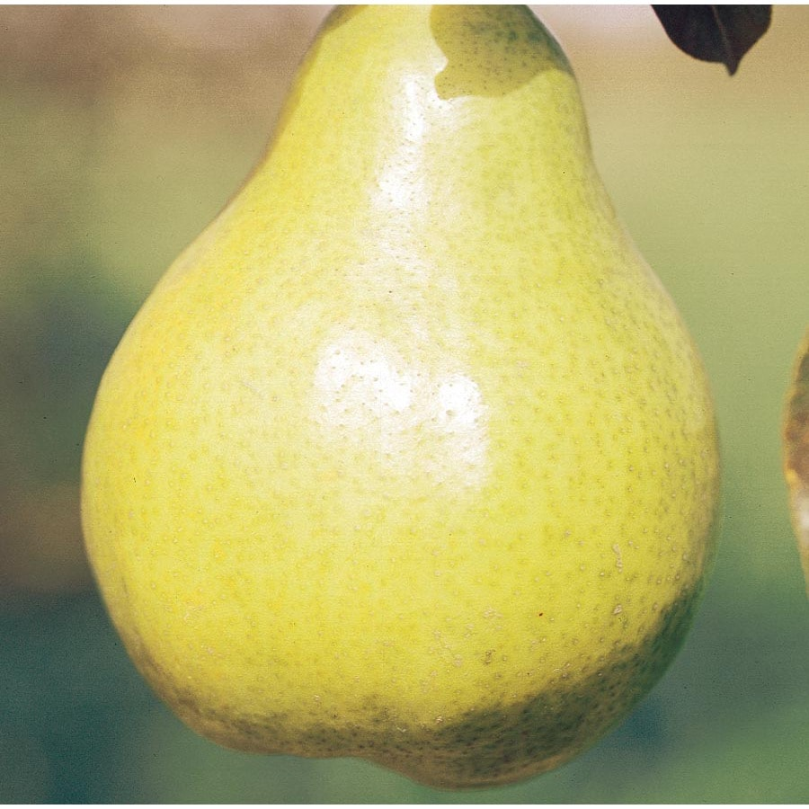 3.58-Gallon Bartlett Ultra-Dwarf Pear Tree (L22683)