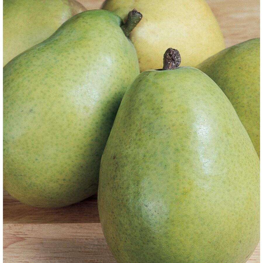 3.58-Gallon D'Anjou Ultra-Dwarf Pear Tree (L22684)