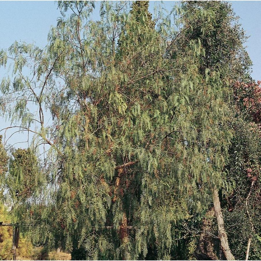 3.58-Gallon California Pepper Shade Tree (L9429)