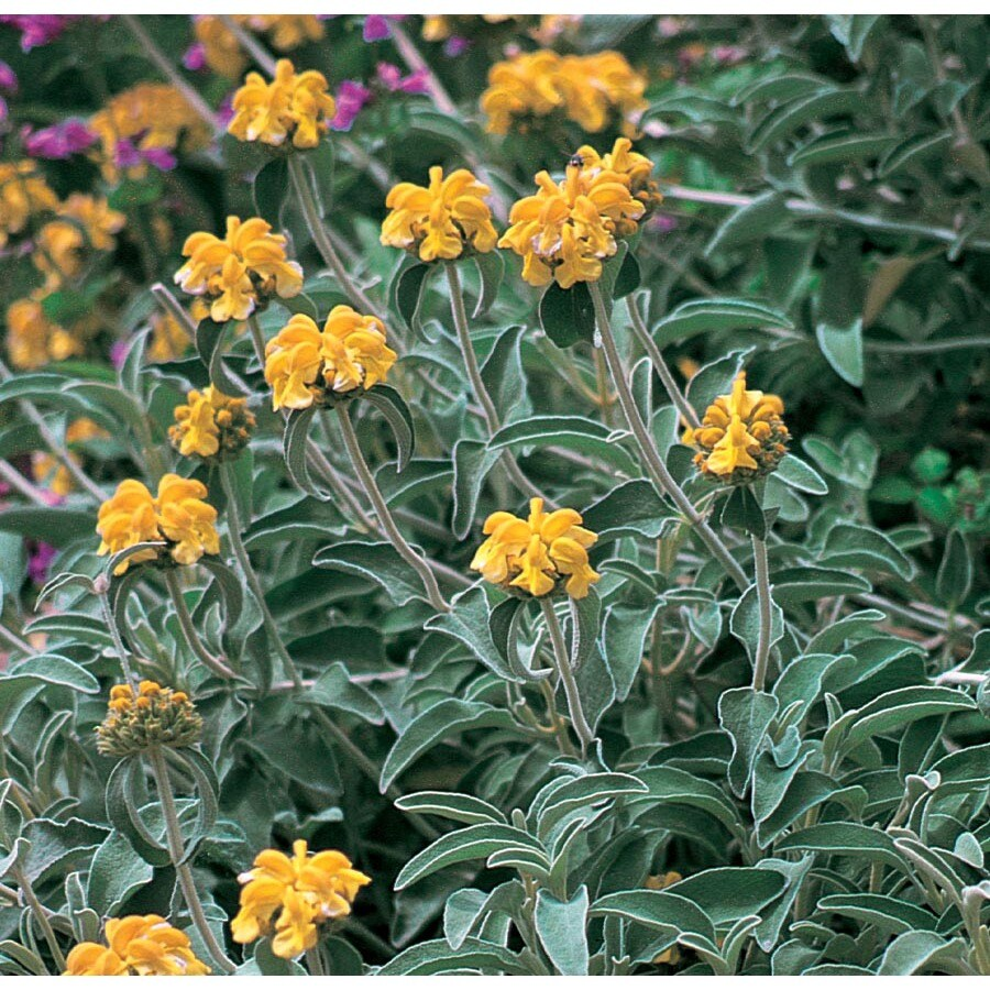 3.58-Gallon Yellow Jerusalem Sage Flowering Shrub (L22810)