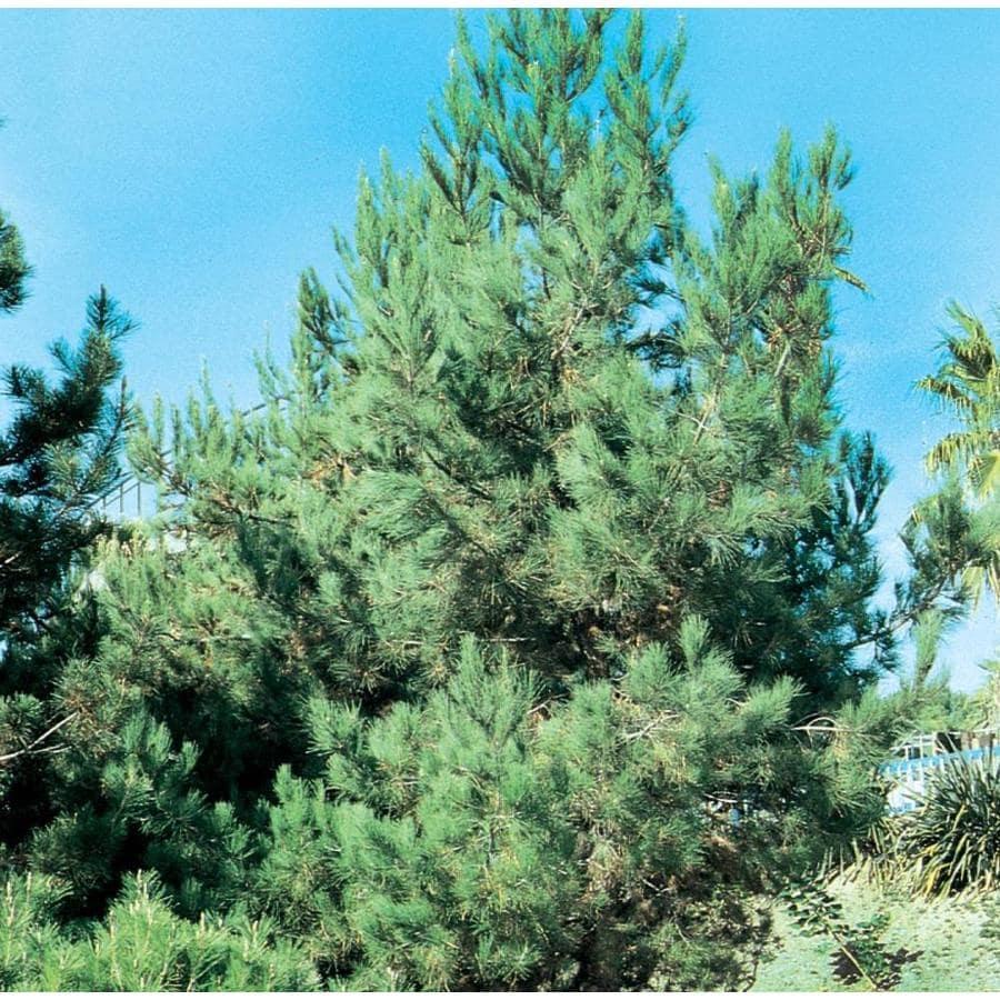 3.58-Gallon Eldarica Pine Feature Tree (L5148)