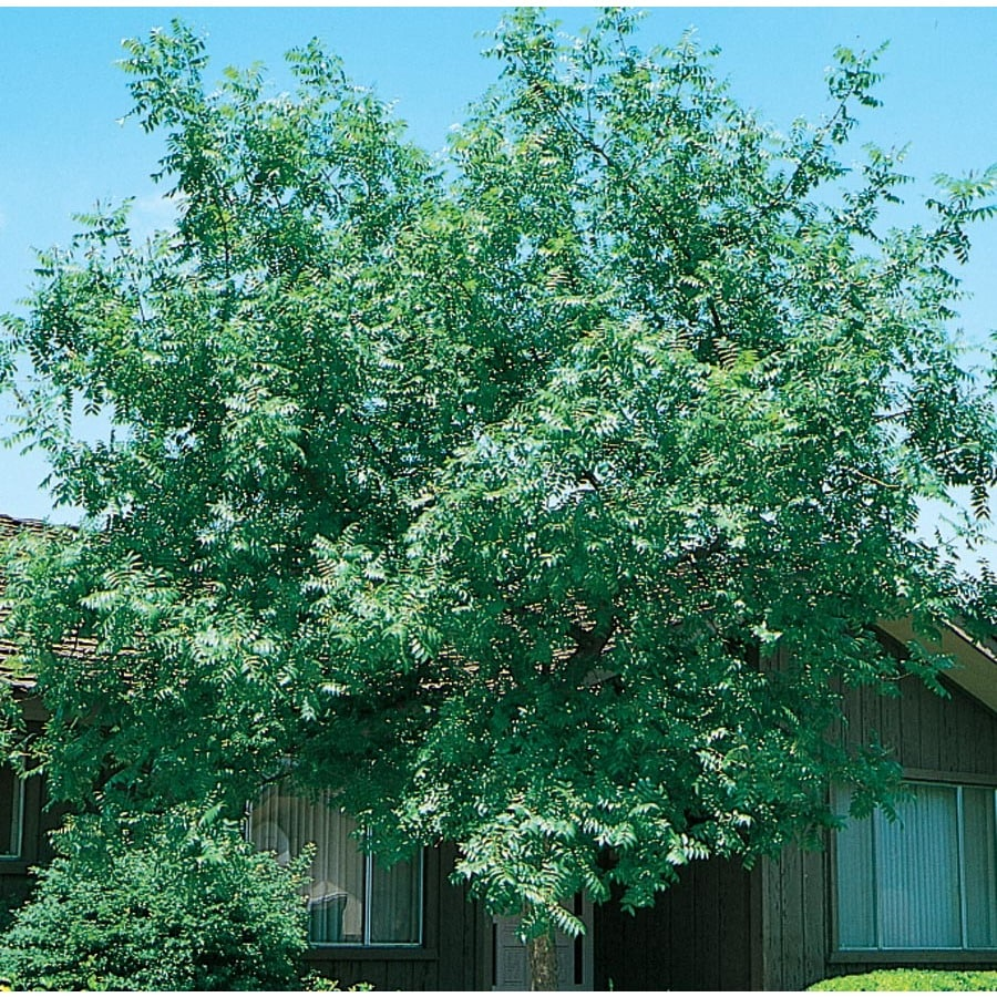 3.58-Gallon Chinese Pistache Shade Tree (L1089)