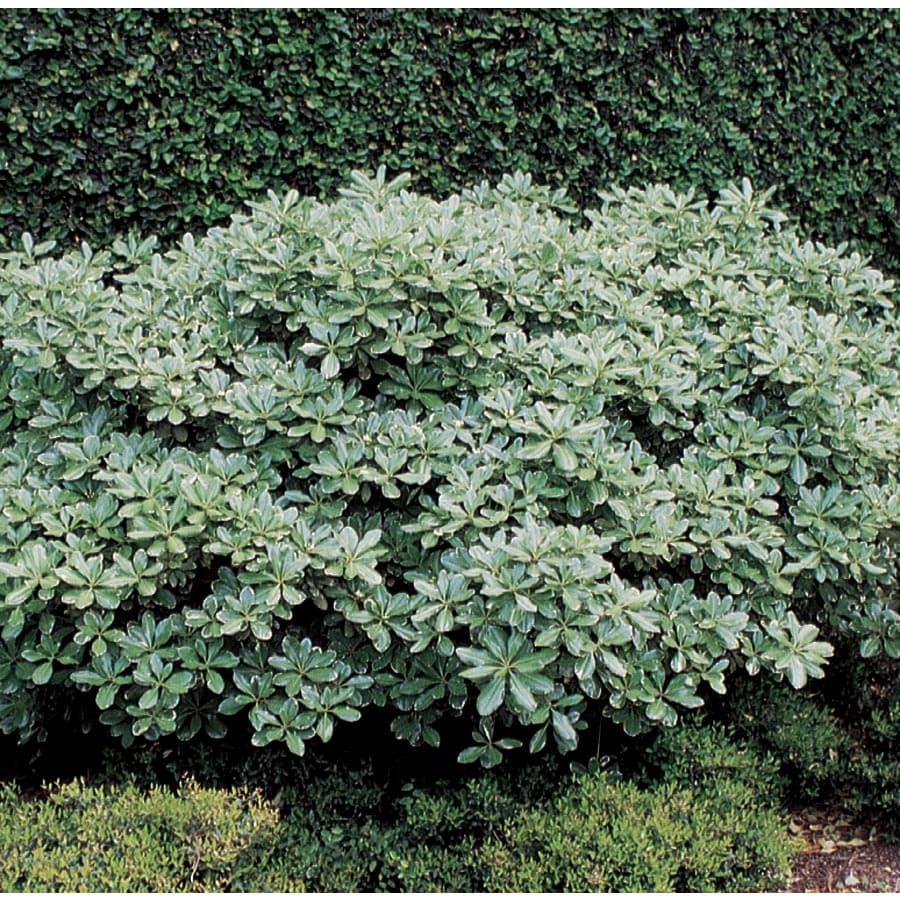 Shop 358 Gallon White Variegated Pittosporum Foundation