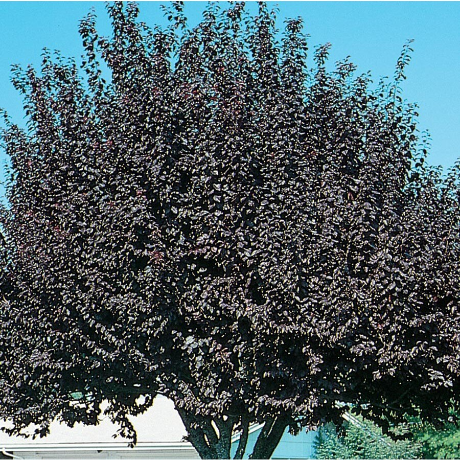 3.58-Gallon Newport Plum Flowering Tree (L1011)