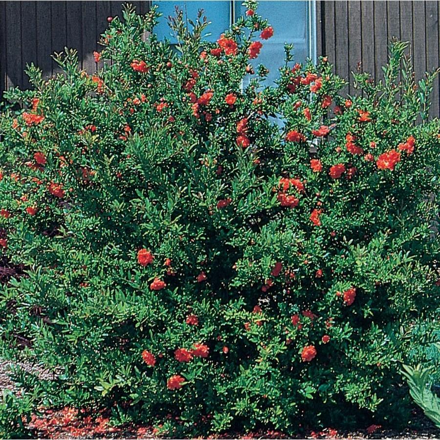 3.58-Gallon Red Dwarf Pomegranate Accent Shrub (L5944)