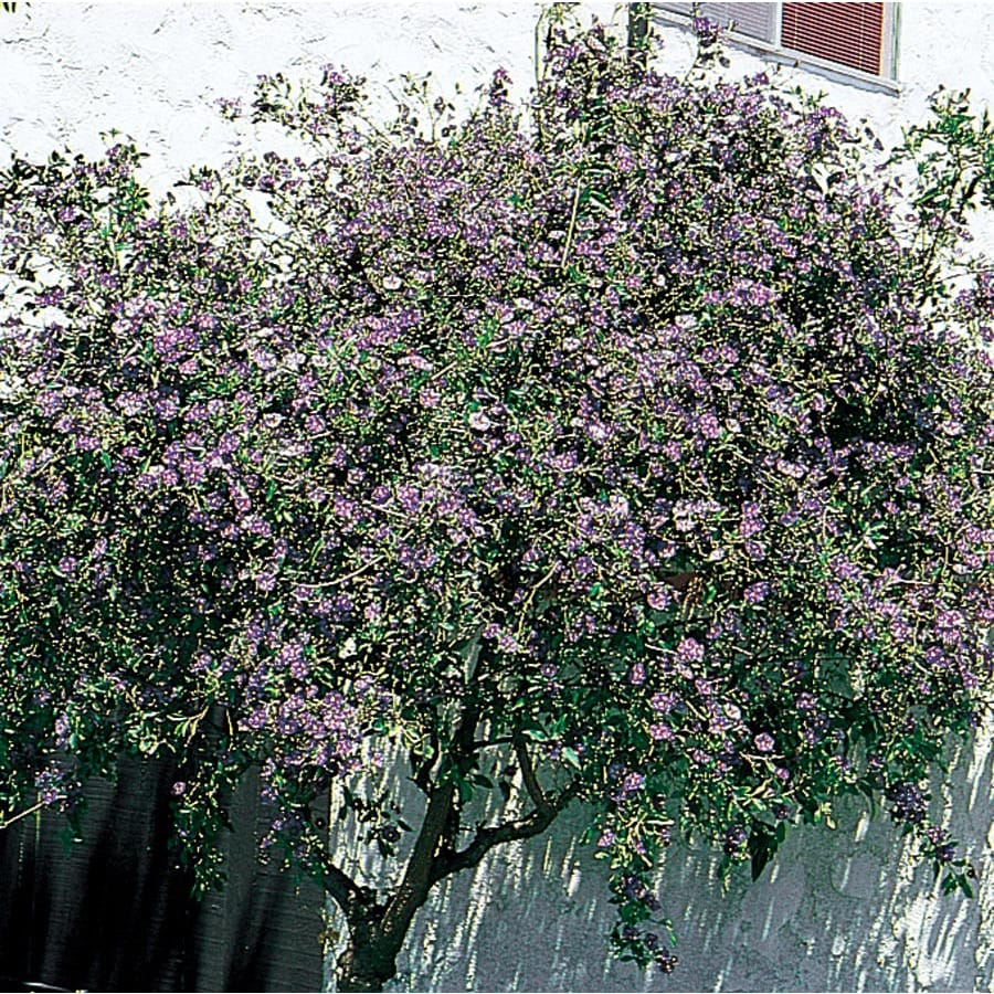 3.58-Gallon Blue Blue Potato Bush Flowering Shrub (L7532)