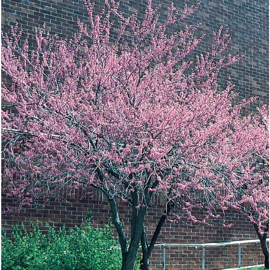 Shop 358 Gallon Pink Redbud Flowering Tree In Pot With Soil