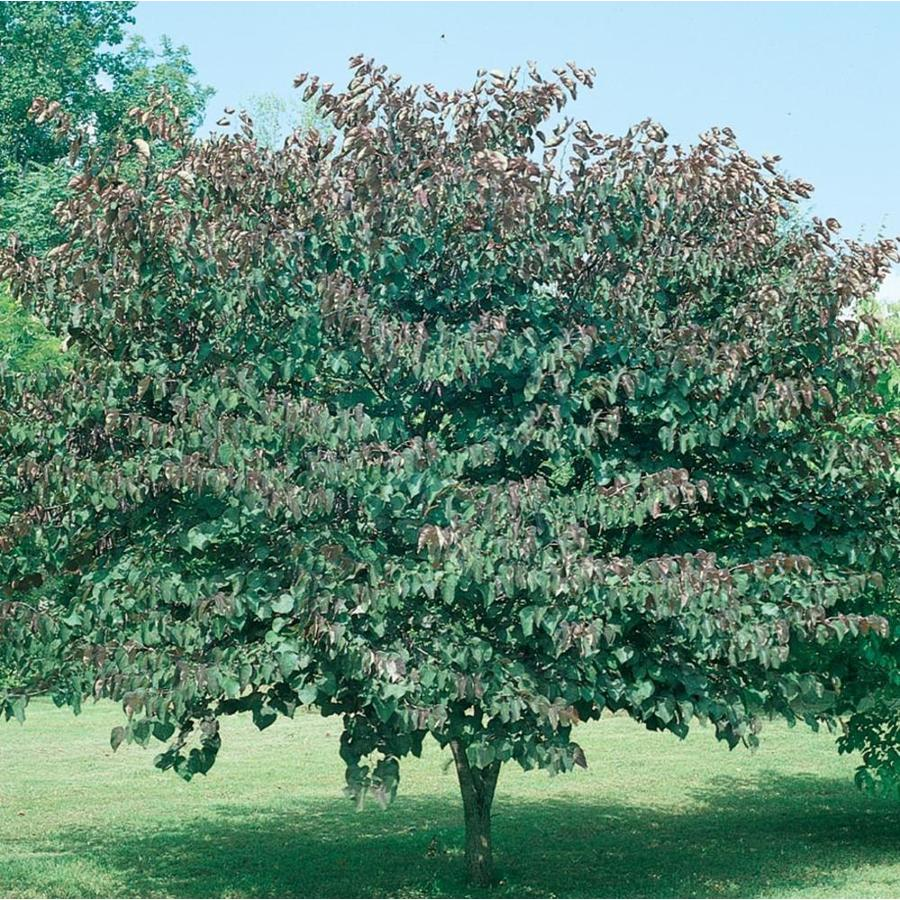 3.58-Gallon Forest Pansy Redbud Flowering Tree (L1071)