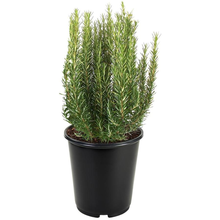 3.58-Gallon Blue Tuscan Blue Rosemary Accent Shrub (L5795)