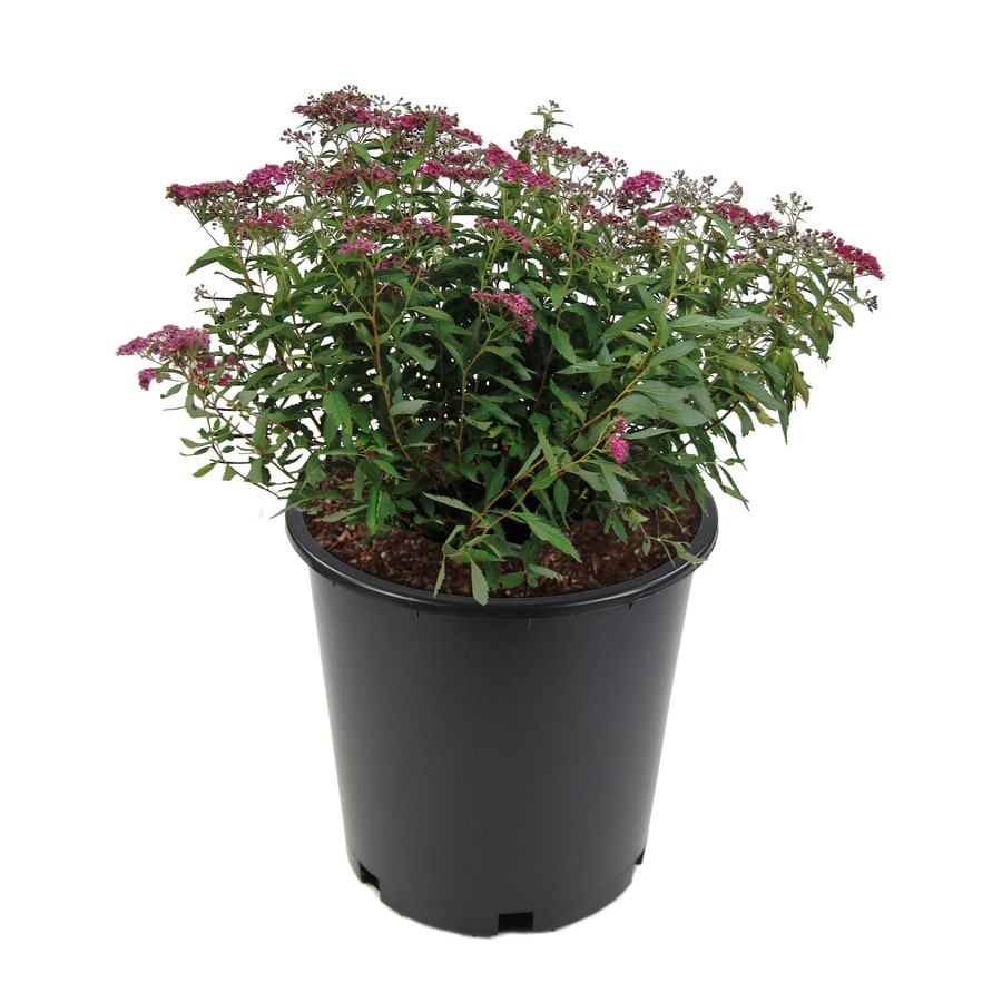 3.58-Gallon Pink Spirea Flowering Shrub