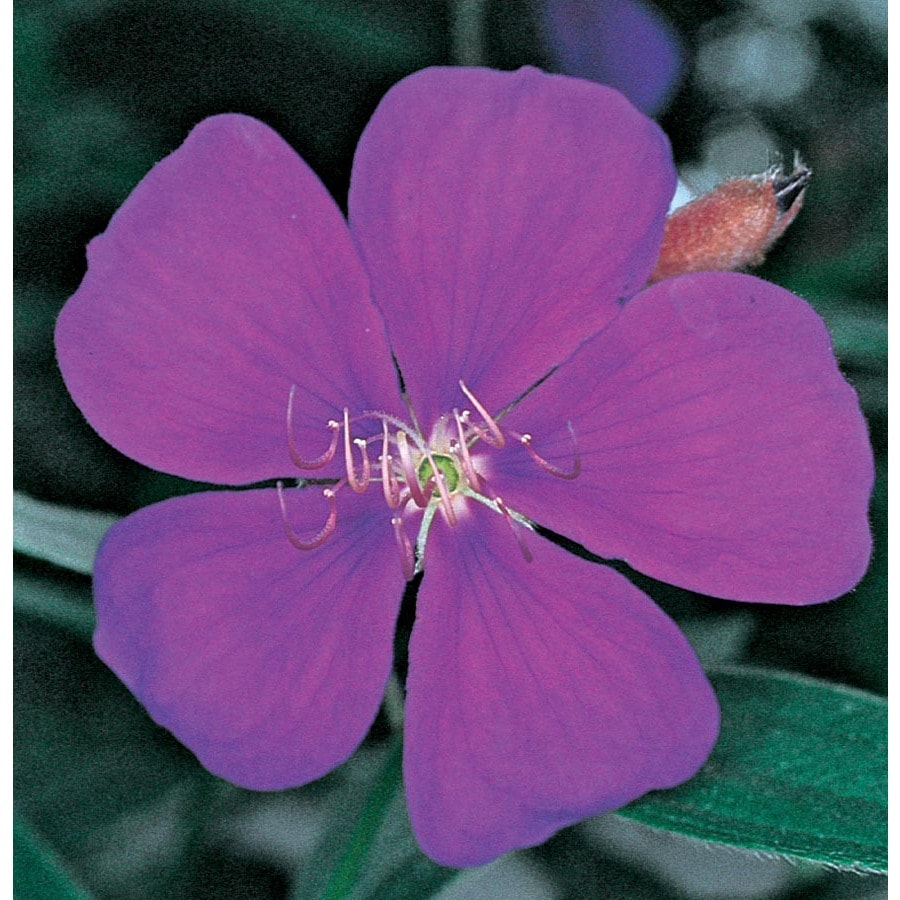 3.58-Gallon Purple Princess Flower Flowering Shrub (L6323)