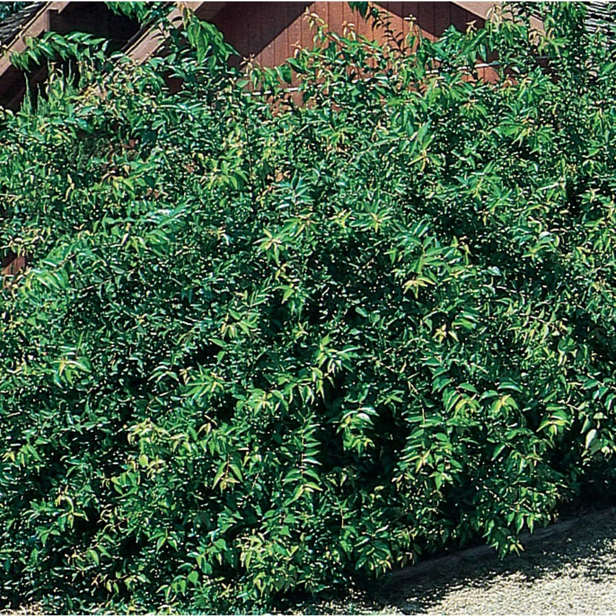 3.58-Gallon Yellow Shiny Xylosma Foundation/Hedge Shrub (L5143)