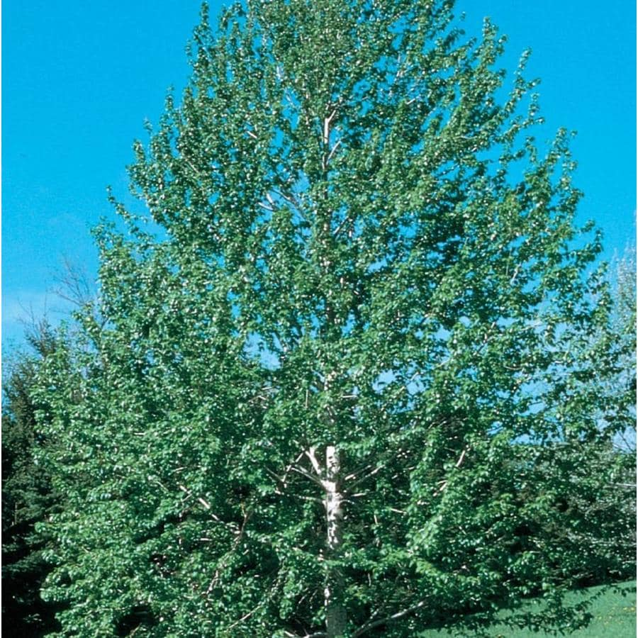 11.1-Gallon Lanceleaf Cottonwood Shade Tree (L11767)