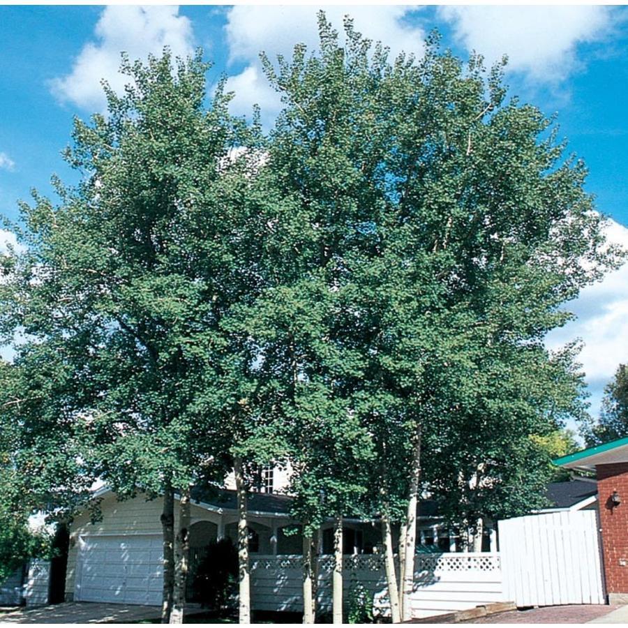 11.1-Gallon Trembling Aspen Shade Tree (L4358)