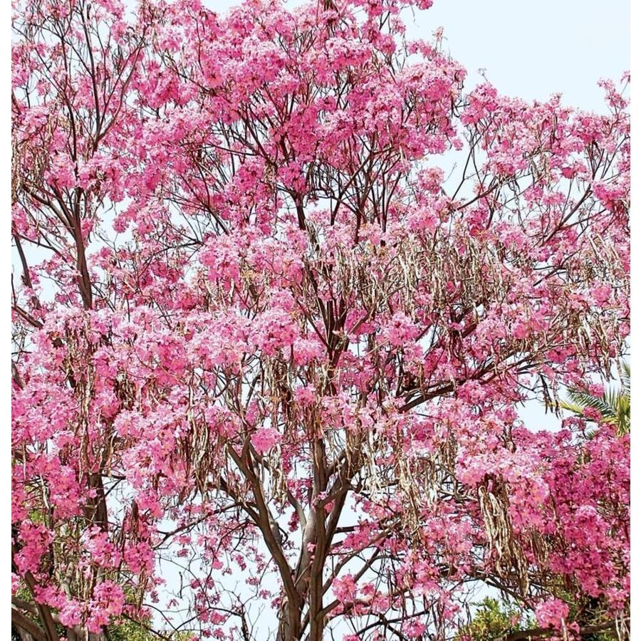 3.58-Gallon Pink Tabebuia Shade Tree (L26503)