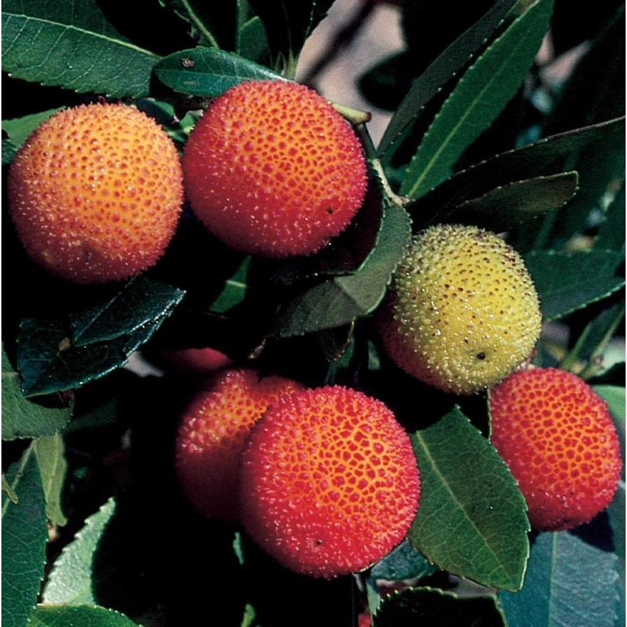 3.58-Gallon Marina Strawberry Tree Feature Tree (LW02095)