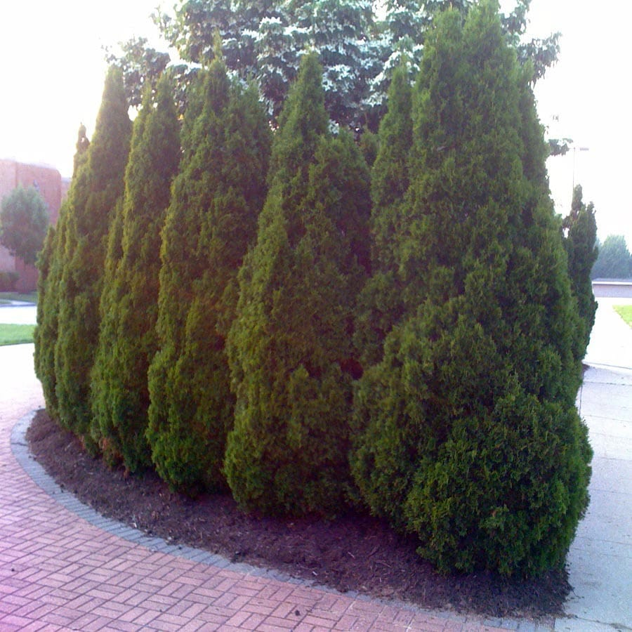 Gallon Green Giant Arborvitae Lw01577 At Lowes